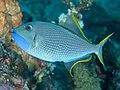 Gilded triggerfish (Xanthichthys auromarginatus) (42586038235).jpg