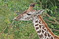 Giraffe feeding, Tanzania crop.jpg