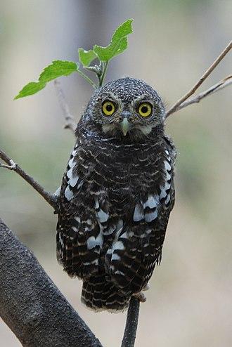 Pygmy owl - African barred owlet