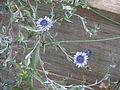 Globularia alypum (15190644940).jpg