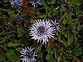 Globularia cordifolia 2016-05-17 0740.jpg