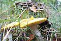 Gm. Grodzisk Wlkp., mushrooms (3).JPG