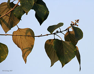 Gmelina arborea -  Leaves in Kolkata, West Bengal, India.