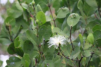 Goa mangrove flower.jpg