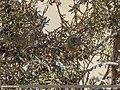 Goldcrest (Regulus regulus) (26706119389).jpg