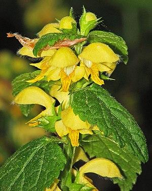 Goldnessel (Lamium galeobdolon) 2