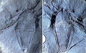 Phalangiotarbi - Goniotarbus angulatus fossil, dorsal and ventral views