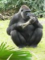 File:Gorilla gorilla gorilla3.ogv
