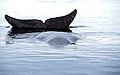Grönlandwal 2-1999.jpg