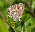 Gram Blue (Euchrysops cnejus) in Hyderabad, AP W IMG 0521.jpg
