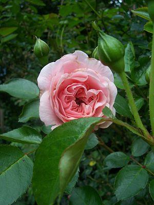 Rosa 'Granny', Poulsen 1991