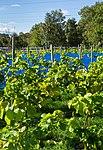 Grape plants and bird nets in Chateaux Luna vineyard 6.jpg