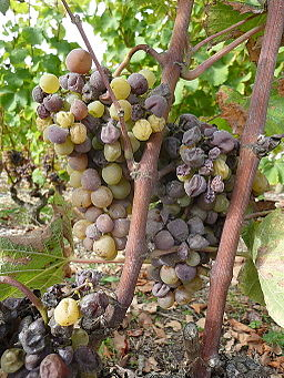 Grapes infected with botrytis
