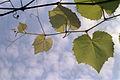 Grapevines 20020400 2.jpg