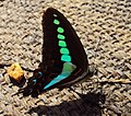 Graphium sarpedon - Common Bluebottle.JPG
