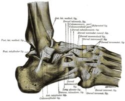 Posterior talofibular ligament - Wikipedia
