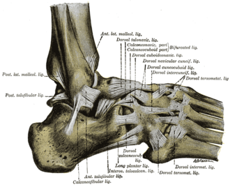 Anterior talofibular ligament - The ligaments of the foot from the lateral aspect  (anterior talofibular ligament labeled at bottom center left)