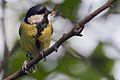 Great Tit Lodz(Poland)(js)10.jpg