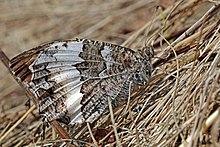 Great banded grayling (Brintesia circe) Hungary.jpg