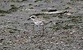 Greater Sand Plover (30532779354).jpg