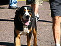 Greater Swiss Mountain Dog at Larz Anderson Park.jpg