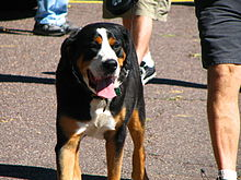 This photograph shows the coloration of a Greater Swiss Mountain Dog.