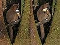 Greater bamboo lemur (Prolemur simus) male eating composite.jpg