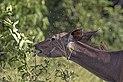 Greater kudu (Tragelaphus strepsiceros strepsiceros) female, with flies and oxpecker.jpg