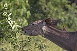 Greater kudu (Tragelaphus strepsiceros strepsiceros) female, with flies and oxpecker.jpg