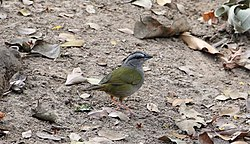 Green-backed Sparrow (Arremonops chloronotus) (7223086396).jpg