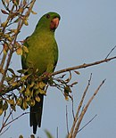 A green parrot with black eye-spots