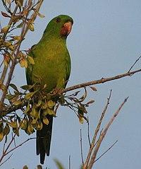 Green Parakeet -in tree -South Texas-8