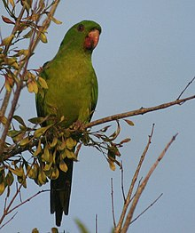 Green Parakeet -in tree -South Texas-8.jpg