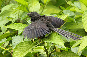 Egg tossing (behavior) - Groove-billed ani