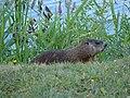 Groundhog03.JPG