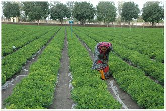 Directorate of Groundnut Research - Groundnut cultivation under polythene mulch