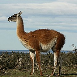 definition of guanaco