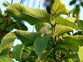 Guava (460187157).jpg