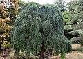 Gunnersbury, Japanese Gardens, Japanese pagoda tree.jpg