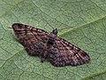 Gymnoscelis rufifasciata - Double-striped pug (42885733945).jpg