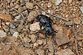 Gyriosomus sp - Flickr - Pato Novoa.jpg
