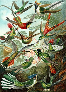 The 99th plate illustration from Ernst Haeckel's Kunstformen der Natur (1904), showing a variety of hummingbirds.