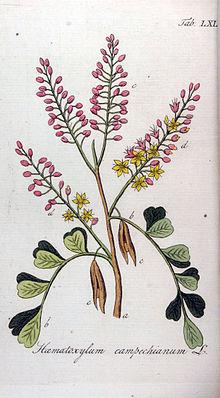 Blutholzbaum (Haematoxylum campechianum), Illustration