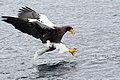 Haliaeetus pelagicus touchdown.jpg