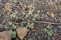 Haría Ye - Calle San Francisco Javier-LZ-201 - Euphorbia segetalis 04 ies.jpg