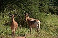 Hartebeest, Tarangire National Park (5) (28101180233).jpg
