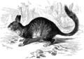 Hasenmaus (Lagidium Cuvieri).png