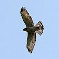 Hawk (3906295363).jpg