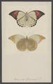 Hebomoia - Print - Iconographia Zoologica - Special Collections University of Amsterdam - UBAINV0274 003 02 0028.tif