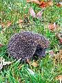 Hedgehog-1.jpg